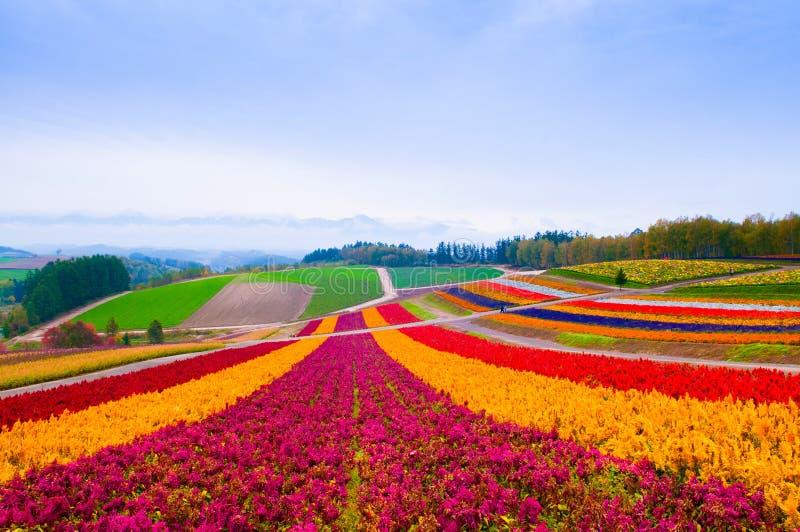 Campo de flor en Furano, Hokkaido, Japón imagen de archivo libre de regalías