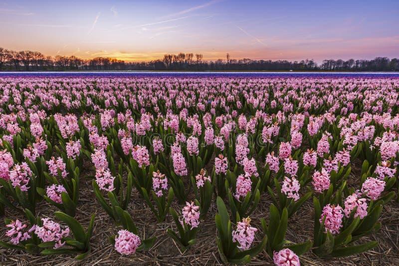 Campo de flor de florescência colorido com rosa e jacintos azuis durante o por do sol imagens de stock royalty free