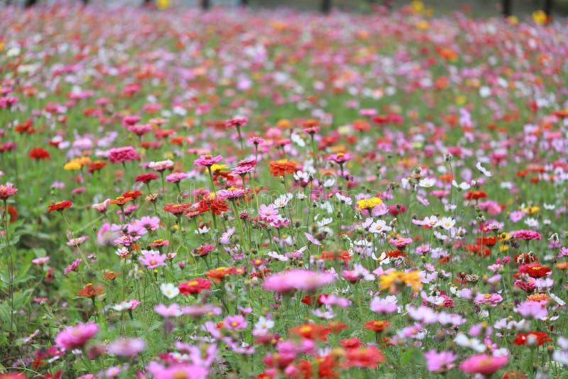 Campo de flor de Galsang no por do sol Verde, shanghai imagem de stock royalty free