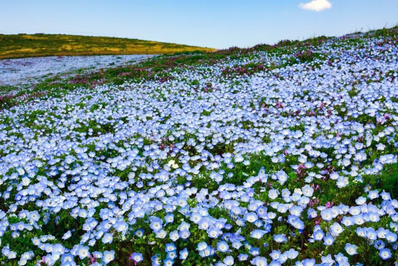 Campo de flor hermoso del nemophila, también llamado ojos de azules cielos, en el parque de playa de Hitachi en Japón foto de archivo