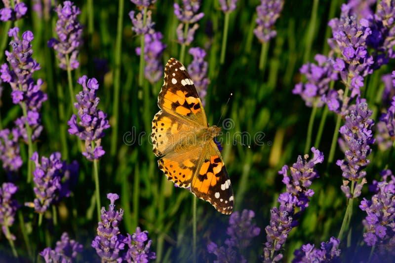 Campo de flor de la lavanda con la mariposa pintada de la señora imagen de archivo libre de regalías