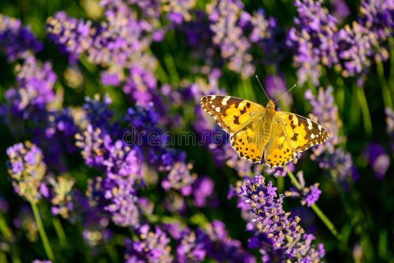 Campo de flor de la lavanda con la mariposa pintada de la señora foto de archivo