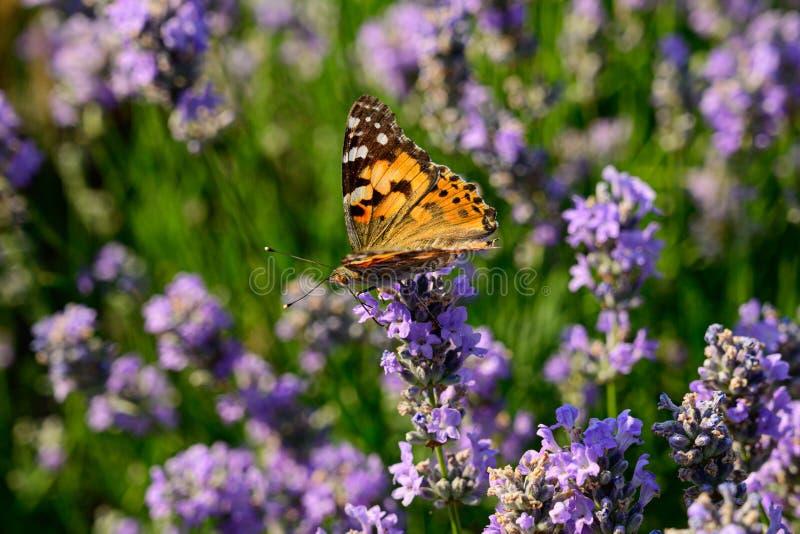 Campo de flor de la lavanda con la mariposa pintada de la señora foto de archivo libre de regalías