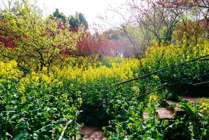 Campo de flor de la rabina en primavera imagen de archivo