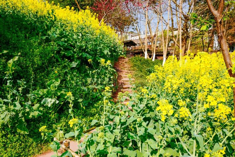 Campo de flor de la rabina en primavera fotos de archivo