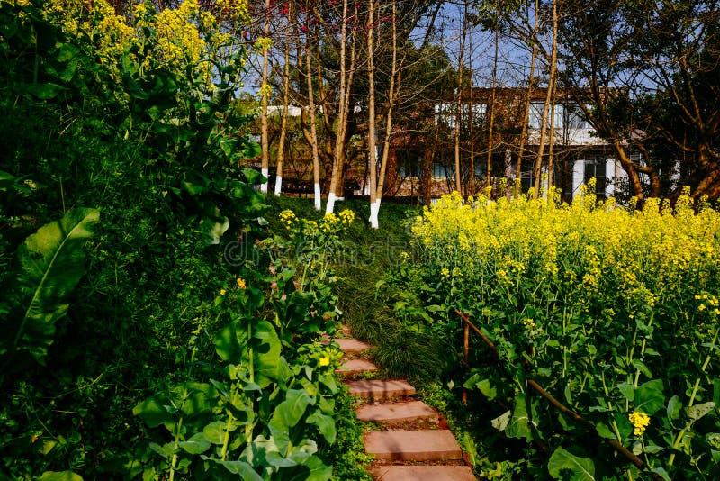 Campo de flor de la rabina en primavera imagen de archivo libre de regalías