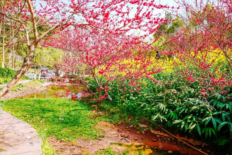 Campo de flor de la rabina en primavera foto de archivo