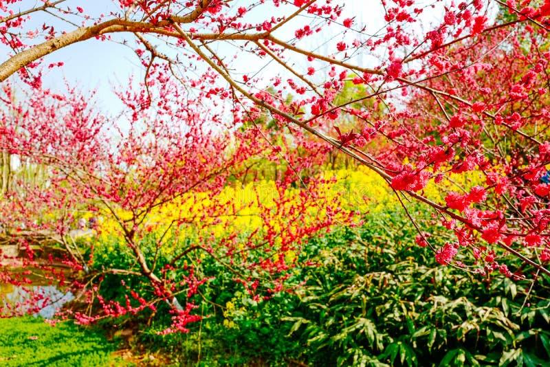 Campo de flor de la rabina en primavera fotografía de archivo