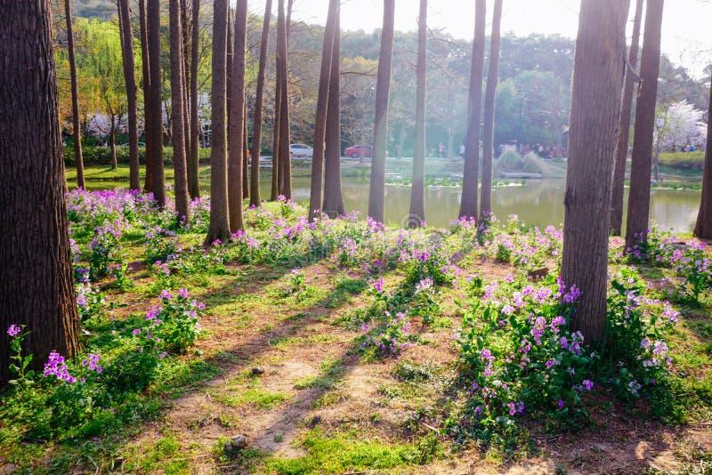 Campo de flor de la rabina en primavera fotos de archivo libres de regalías