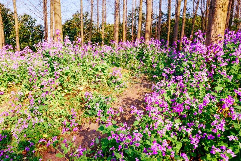 Campo de flor de la rabina en primavera imágenes de archivo libres de regalías