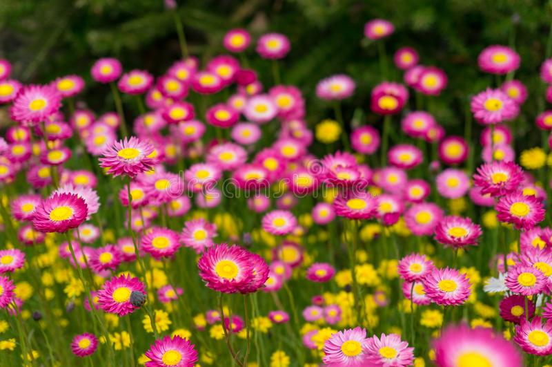 Campo de flor de papel nativo australiano da margarida imagens de stock