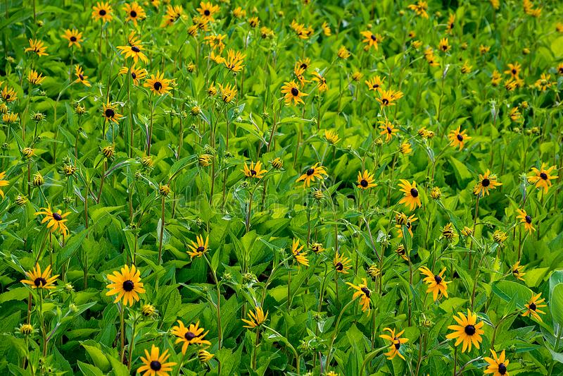 Campo de flor de Susan de olhos pretos fotos de stock royalty free