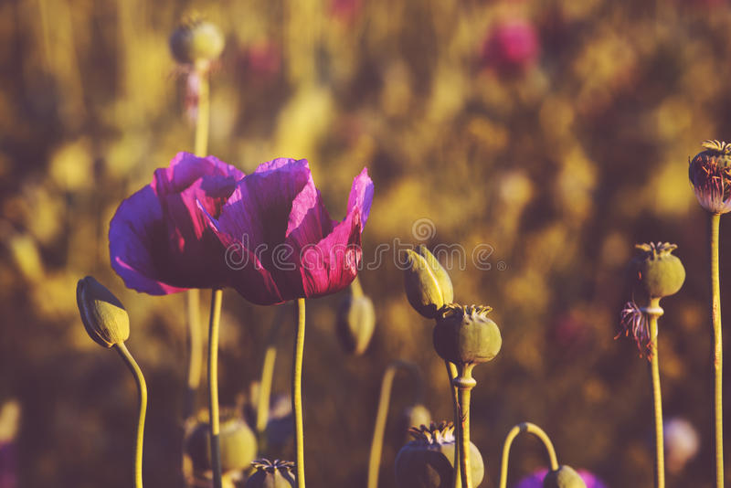Campo de flor tonificado retro da papoila de ópio fotografia de stock