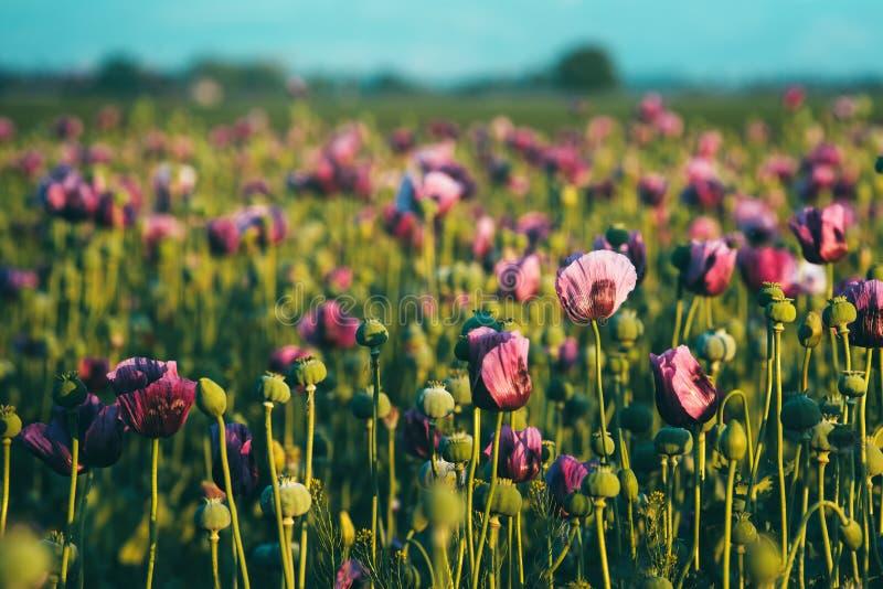Campo de flor tonificado retro da papoila de ópio fotografia de stock royalty free