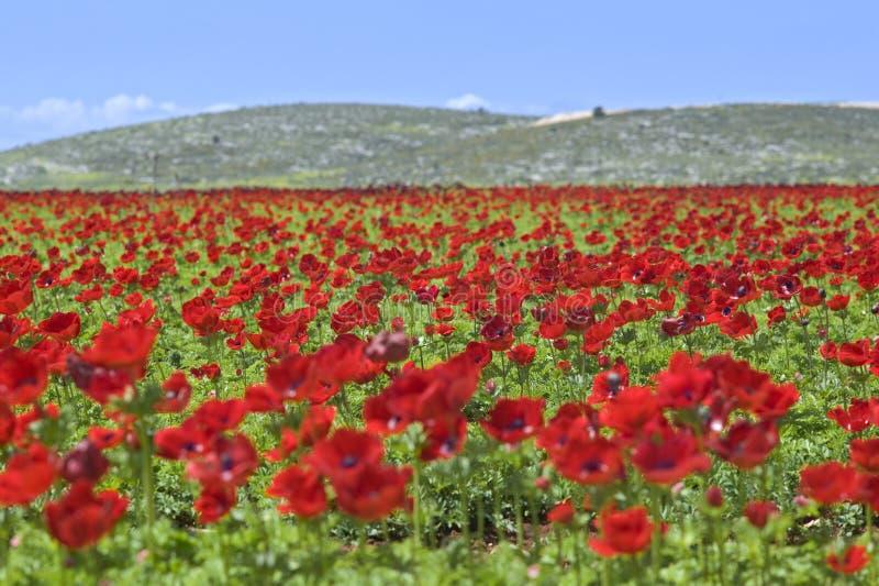 Campo de flor vermelho imagem de stock royalty free