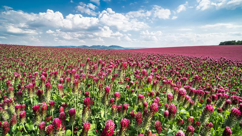 Campo de florecer tréboles carmesís en un paisaje de la primavera Trébol italiano Incarnatum del Trifolium fotografía de archivo