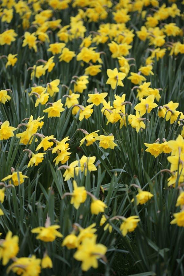 Campo de flores amarelas imagens de stock royalty free
