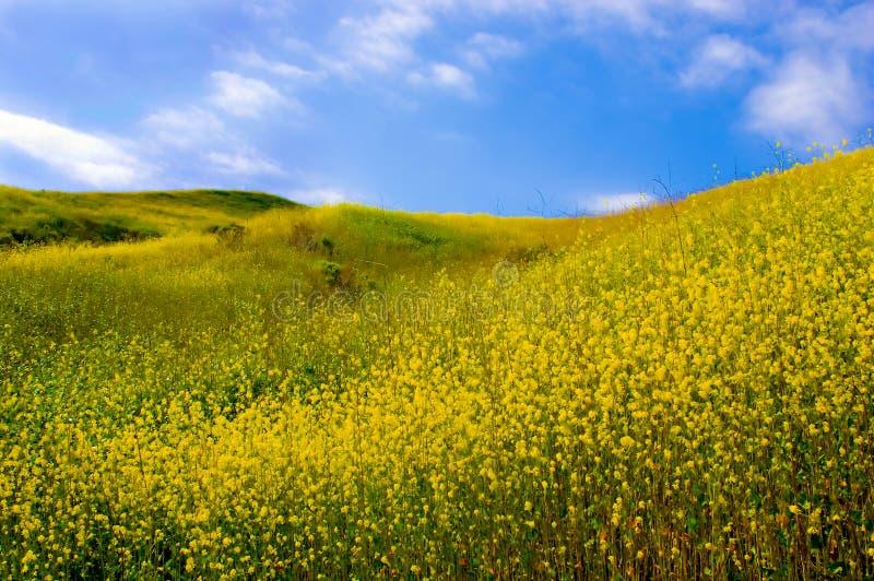 Campo de flores amarelas foto de stock