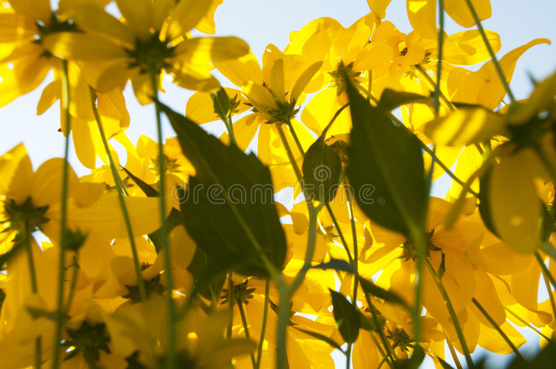 Campo de flores amarelas fotos de stock royalty free