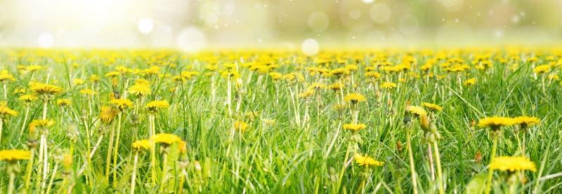Campo de flores amarelas do dente-de-leão e do céu perfeito Vista panorâmico fotos de stock royalty free