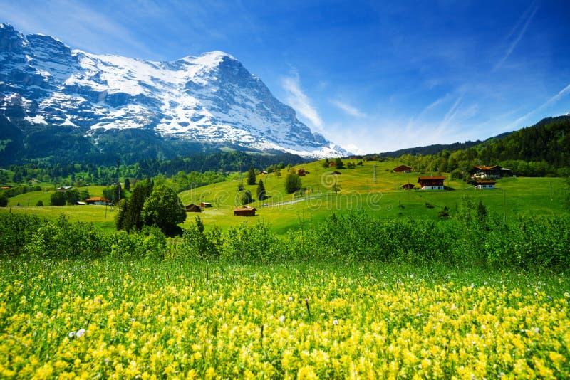 Campo de flores amarelo, paisagem suíça bonita foto de stock