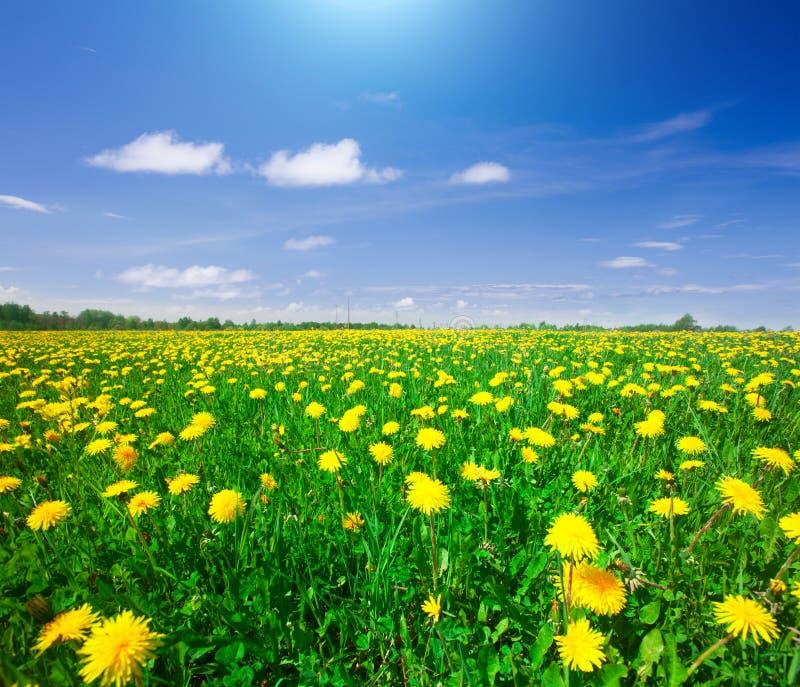 Campo de flores amarelo sob o céu nebuloso azul foto de stock royalty free