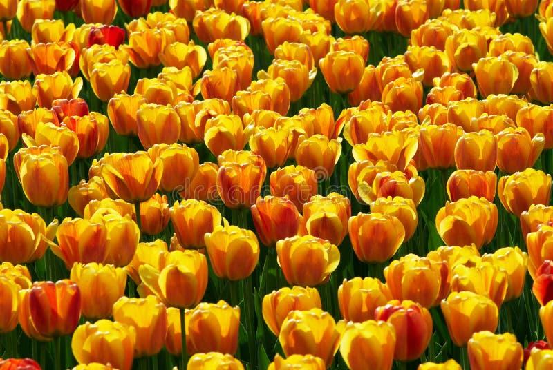 campo de flores Amarelo-vermelho do tulip imagem de stock