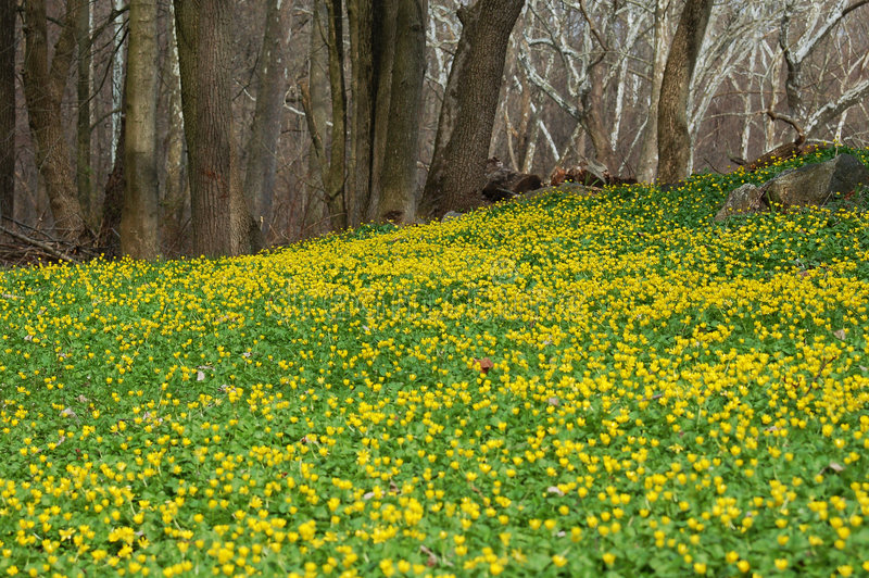 Campo de flores amarillas fotografía de archivo