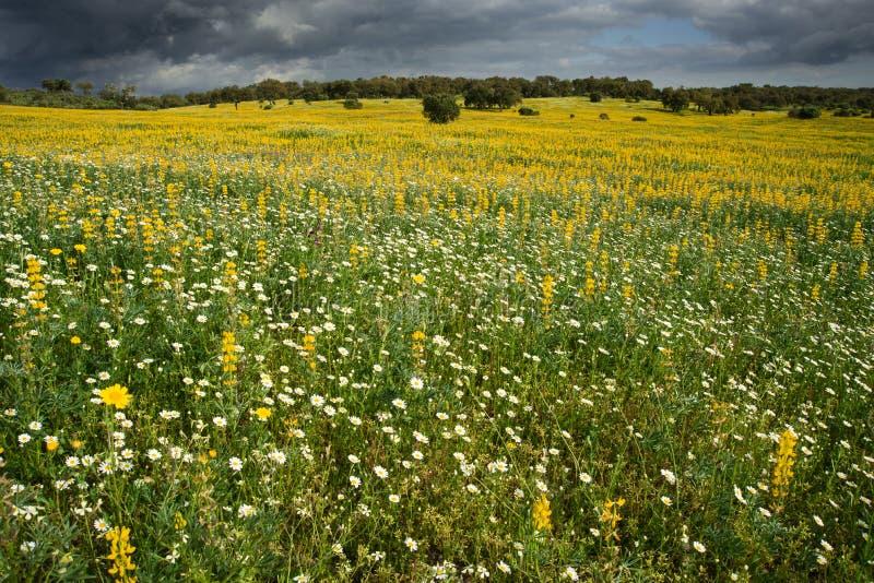 Campo de flores amarillas y blancas imagenes de archivo