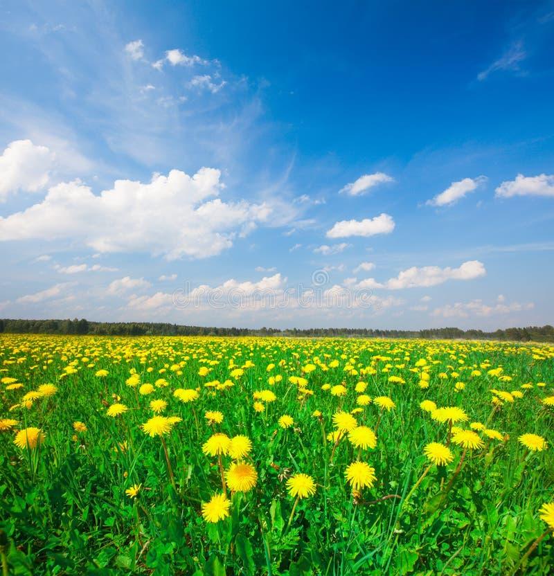 Campo de flores amarillo bajo el cielo nublado azul foto de archivo