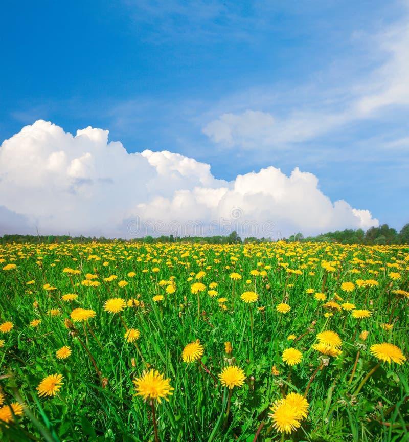 Campo de flores amarillo bajo el cielo nublado azul foto de archivo libre de regalías