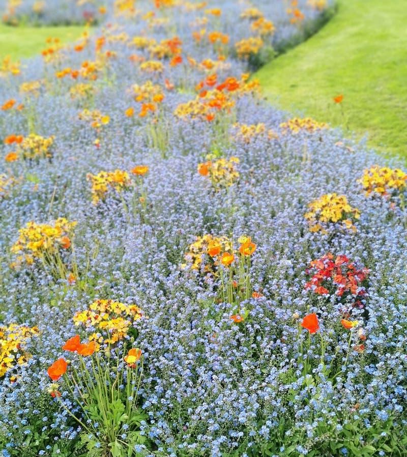 Campo de flores azuis, roxas, da laranja, as amarelas e as vermelhas foto de stock