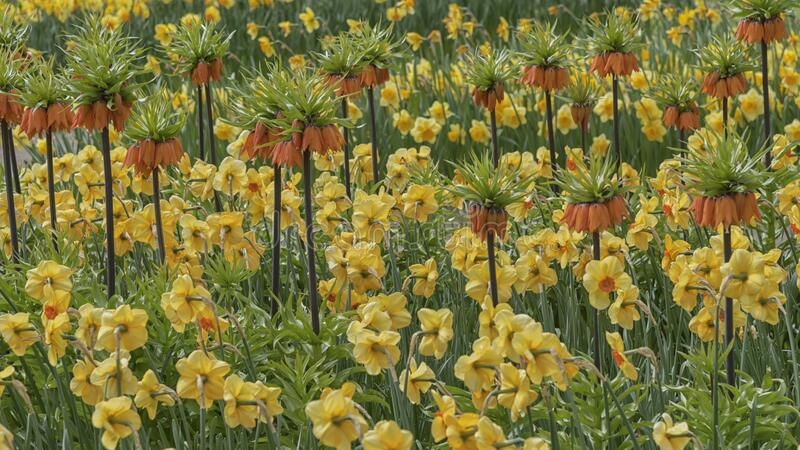 Campo de flores brilhantes nos Países Baixos, Keukenhof Fritillaria imperialis garland star e hippeastrum de diamante duplo Alask imagem de stock