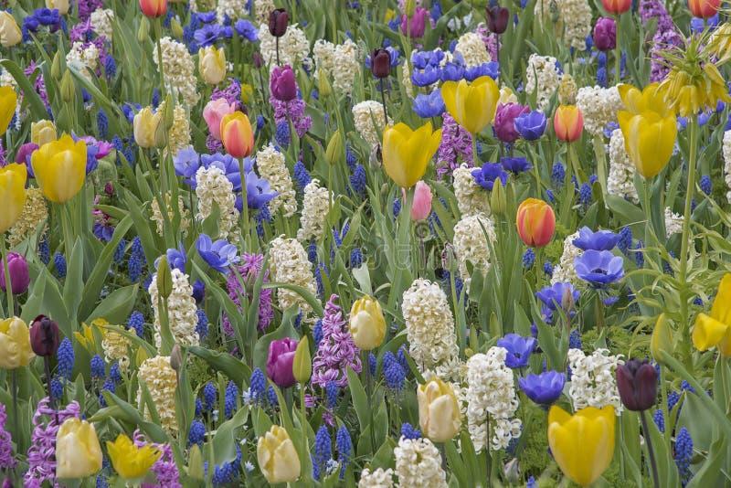 Campo de flores coloridas nos Países Baixos, Keukenhof Variedades de flores finas Paisagem natural da primavera imagens de stock