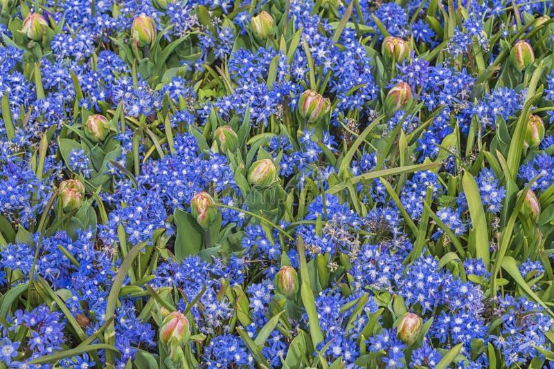 Campo de flores coloridas nos Países Baixos, Keukenhof Variedades de flores finas Paisagem de primavera imagens de stock