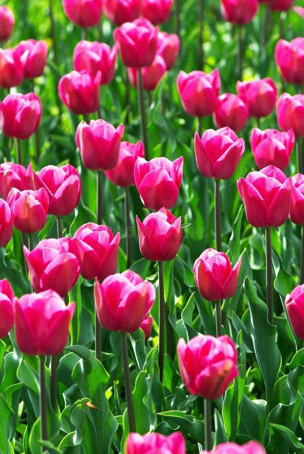 Campo de flores cor-de-rosa do tulip imagem de stock royalty free
