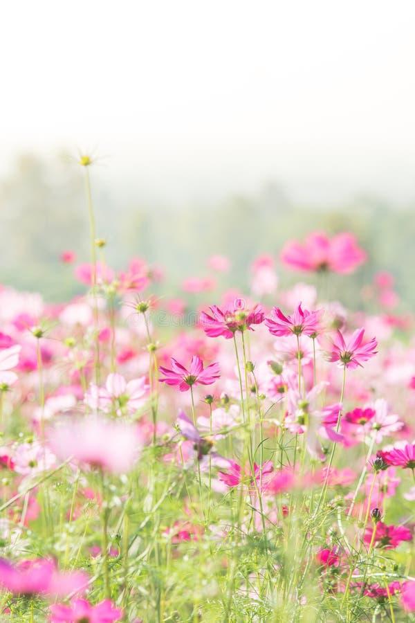 Campo de flores cor-de-rosa do cosmos, paisagem das flores imagens de stock royalty free