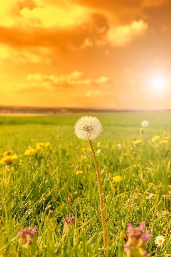 Campo de flores da mola no por do sol fotografia de stock royalty free