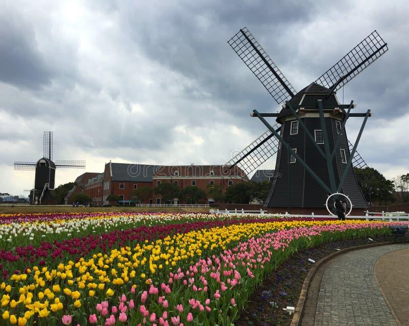 Campo de flores da tulipa na frente de um moinho de vento imagem de stock royalty free