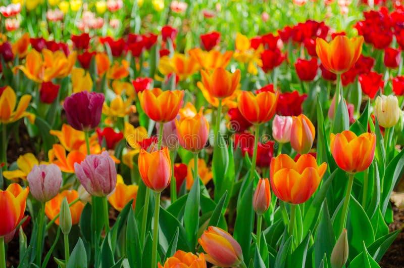Campo de flores das tulipas imagens de stock
