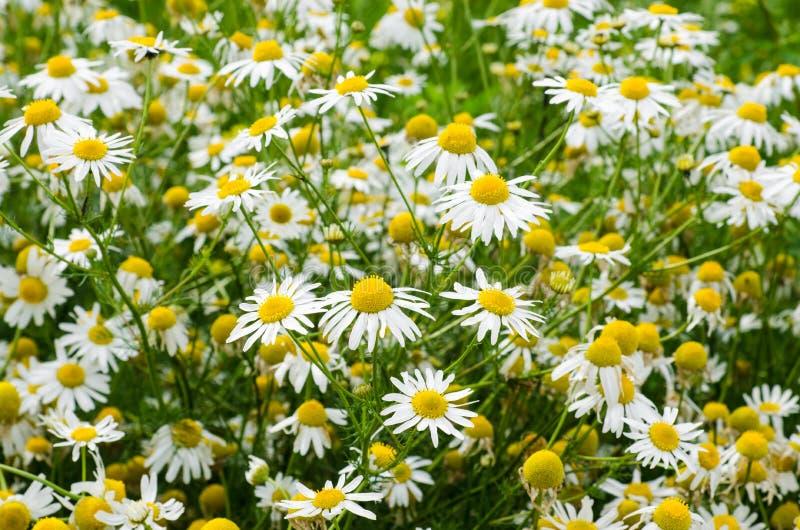 Campo de flores de la manzanilla Fondo con las manzanillas médicas florecientes hermosas Medicina alternativa, concepto natural d fotografía de archivo