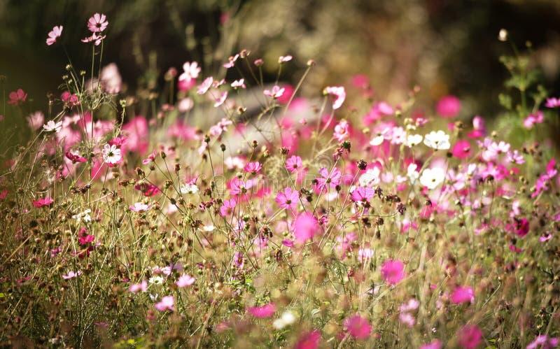 Campo de flores del cosmos imagen de archivo