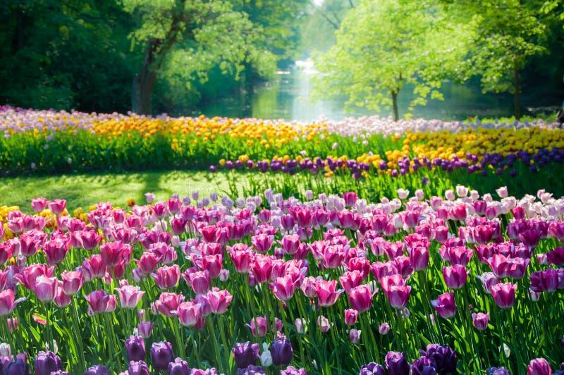 Campo de flores del tulipán imagenes de archivo