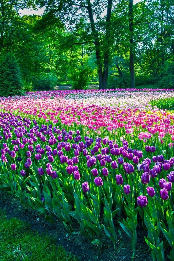 Campo de flores del tulipán fotografía de archivo