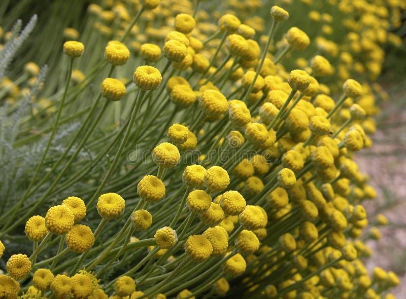 Campo de flores do Santolina imagem de stock