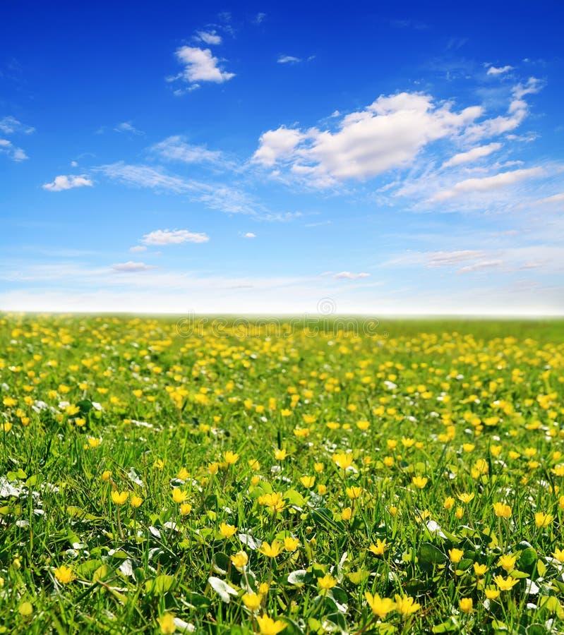 Campo de flores e do céu amarelos do sol foto de stock royalty free
