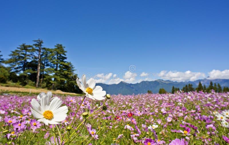 Campo de flores hermoso en Taiwán imágenes de archivo libres de regalías