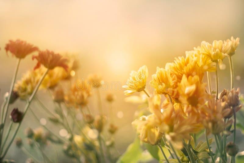Campo de flores no por do sol no estilo pastel do tom da cor do vintage imagem de stock royalty free
