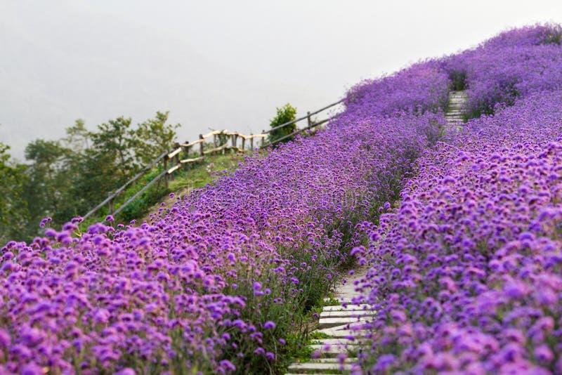 Campo de flores púrpura borroso con paisaje romántico de la trayectoria, pacífico y encantador imagen de archivo libre de regalías