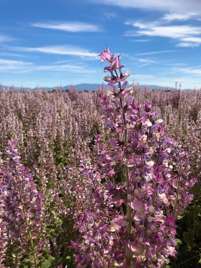 Campo de flores púrpura sabio del prado del Clary con la colina clara hermosa del cielo azul y de la montaña en Valensole, Proven fotos de archivo